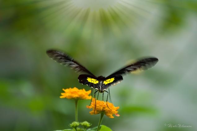 The Golden Birdwing Butterfly